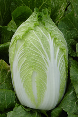 Chinese Cabbage - Emerald Spring F-1 Hyb
