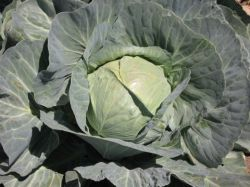 Cabbage - Viceroy F1 Hyb.
