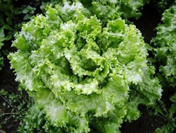 Lettuce-Green-leaf-560