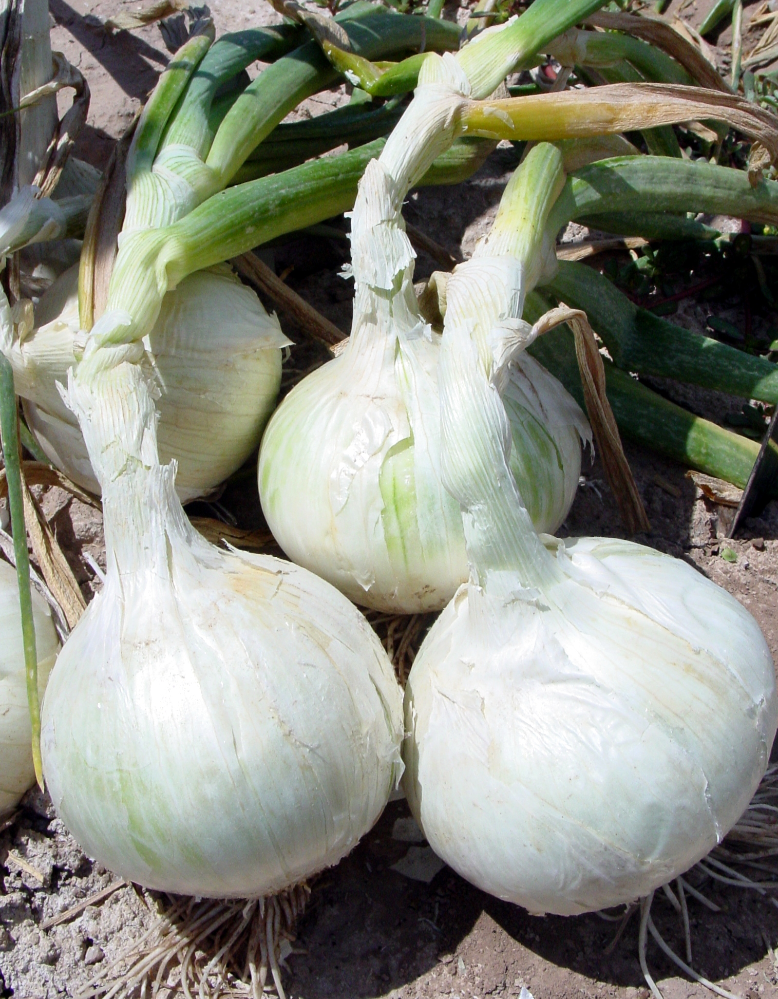 Onion Chachal F-1