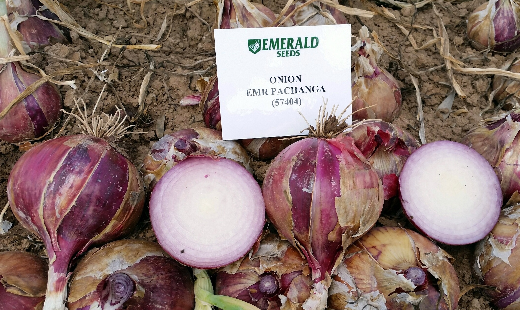 Onion EMR Pachanga  57404