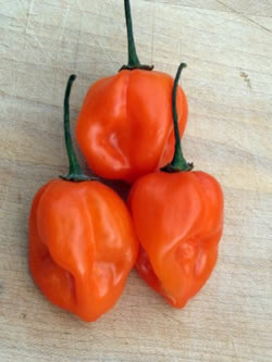 pepper-habanero-550